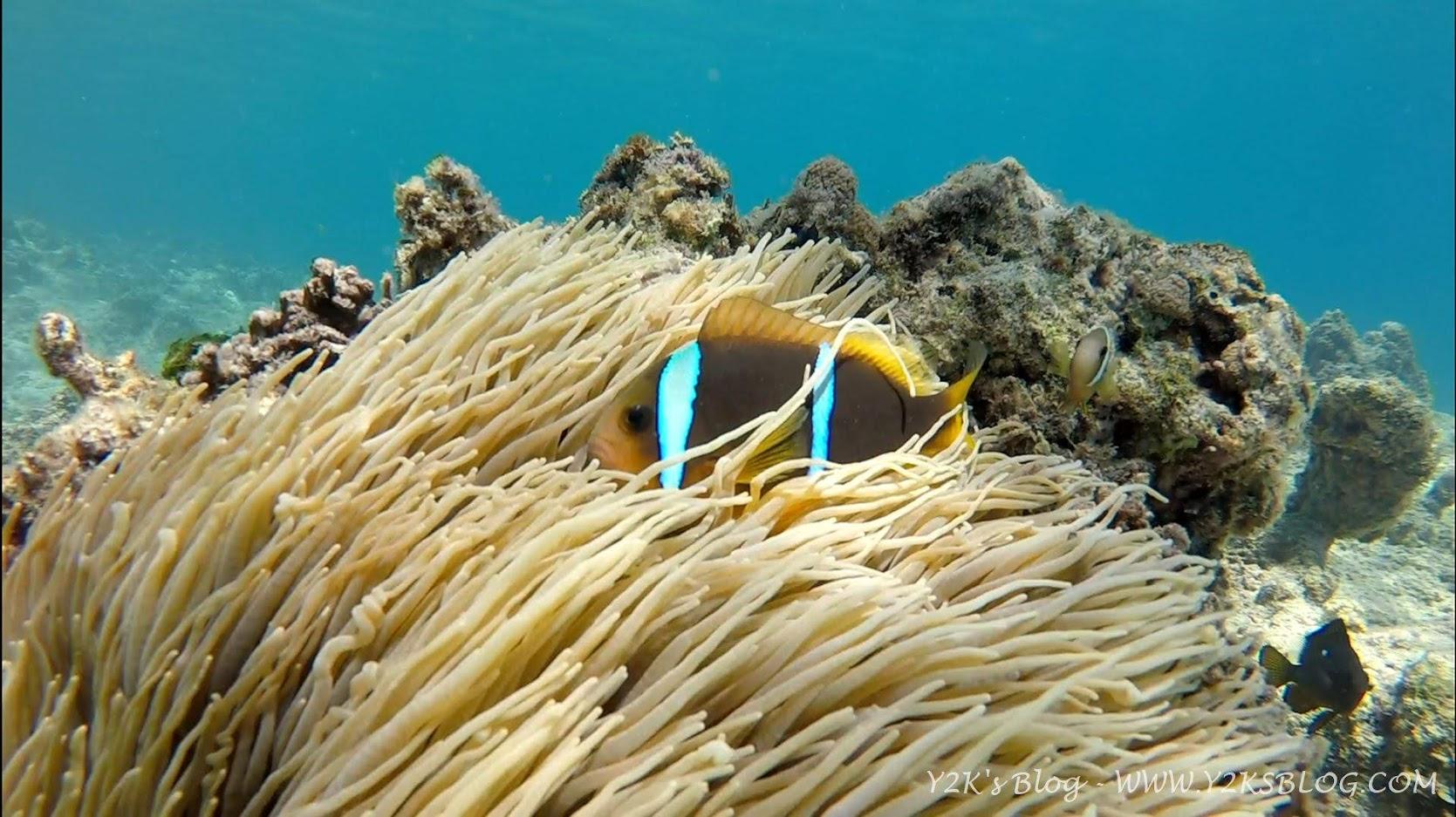 Pesce clown nella sua anemone - Port Maurelle