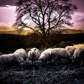 sheep feeding by Morag Soszka - Animals Other ( scotland, ranch, small holding, sheep, crofting, farming )