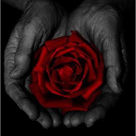 Red rose in hand by Marissa Enslin - Digital Art Things (  )