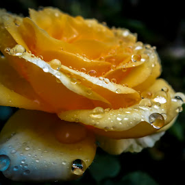 Golden drops by Marina Denisenko - Flowers Single Flower ( drops, flowers, beauty, yellow, rose, roses,  )
