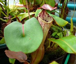Photo: Nepenthes clipeata (Clone 1)
