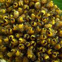 Orb-weaver spider babys