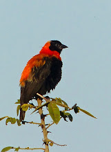 Photo: Male Red Bishop outside our cabin