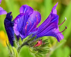 Photo: Echium sp., viperina