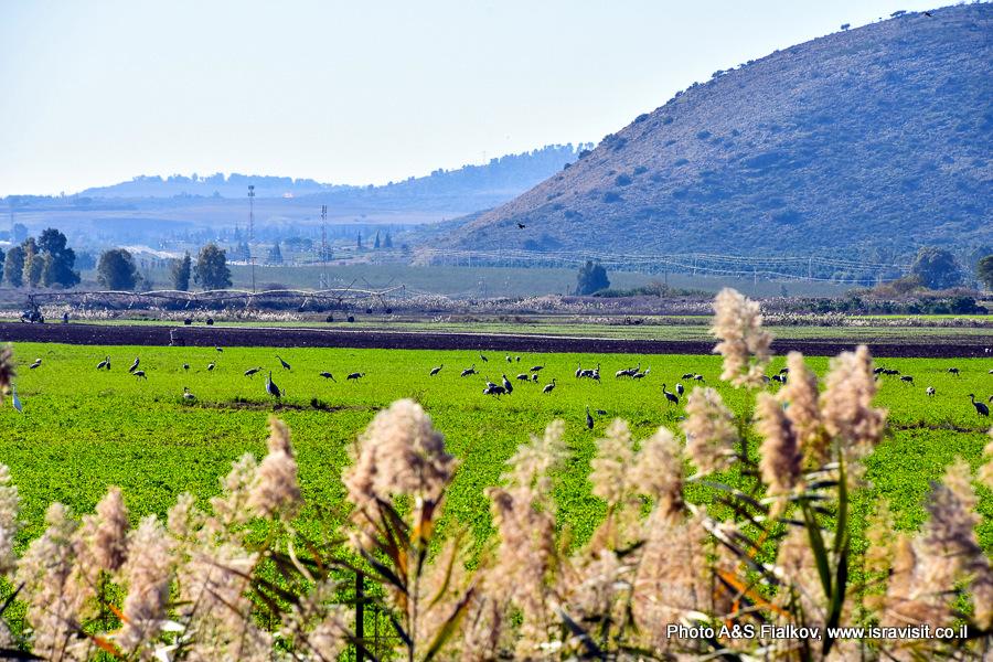 Птичий заповедник Эмек-ха-Хула в Израиле на Голанских высотах.