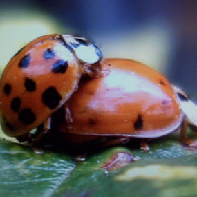 Ladybug Porn by Colleen Flynn - Animals Insects & Spiders ( love, sexbbbbbbbbbbb, ladybug, mating, insects, World_is_RED )