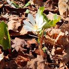Bloodroot (Wildflower)