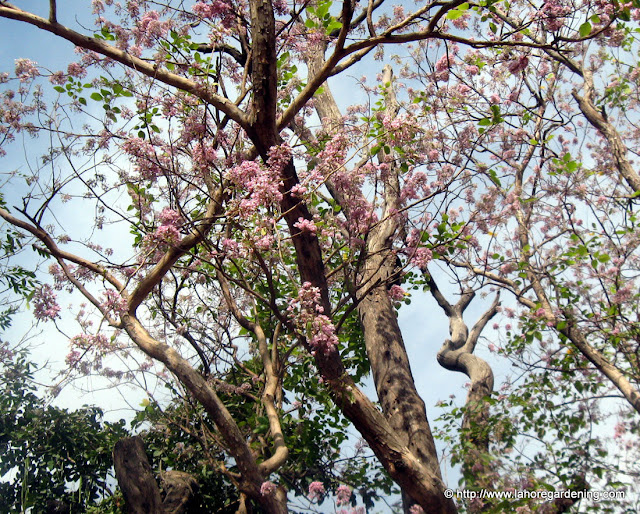 pongam tree sheesham lahore