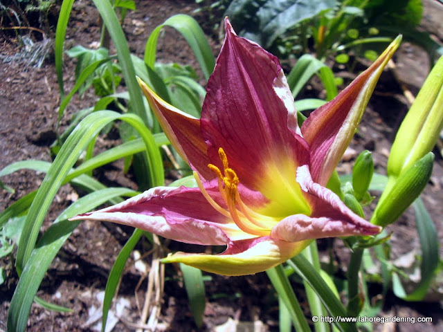 daylily flower in lahore may