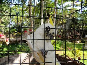 Photo: Большой желтохохлый какаду (Cacatua galerita)