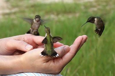Resultado de imagem para colibris e beija flores dançando na floresta