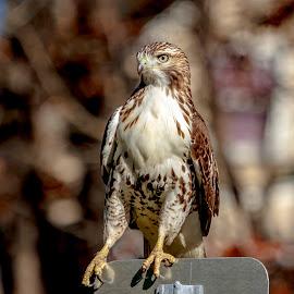 Immature Red-tailed Hawk by Debbie Quick - Animals Birds ( raptor, debbie quick, nature, debs creative images, new york, pleasant valley, red-tailed hawk, birds of prey, outdoors, bird, animal, hawk, wild, hudson valley, wildlife )