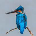 White-throated Kingfisher, white-breasted kingfisher