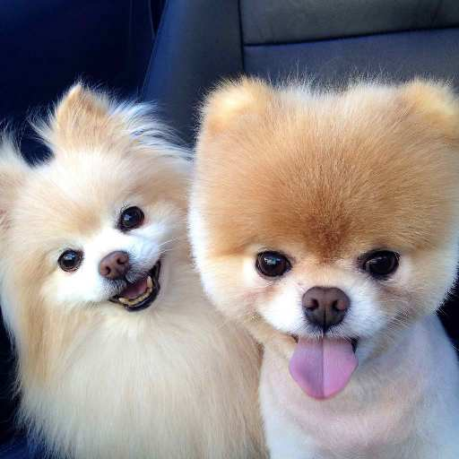 Pomeranian Dog Wallpapers Hd On Google Play Reviews Stats
