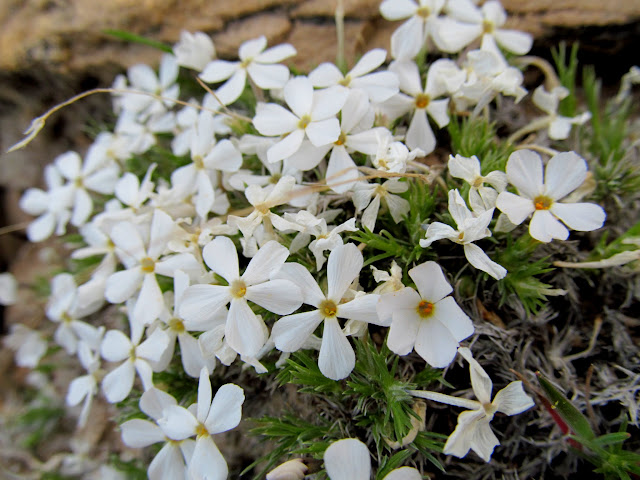 White wildflowers