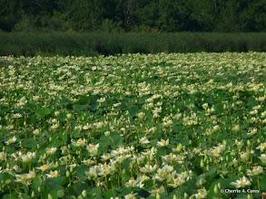 Photo: Lotus
