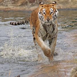 Here, Kitty Kitty! by Sam Sampson - Animals Lions, Tigers & Big Cats ( water, orange, splash, tiger, running,  )