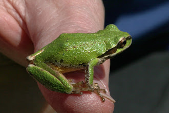 Photo: Pseudacris regilla (Baird & Girard, 1852) - The Pacific Tree Frog