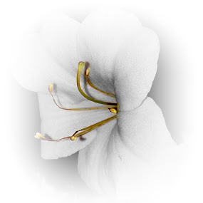 White azalea by Heather G - Digital Art Things ( flowers azalea )