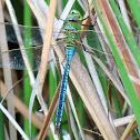Dragon-fly green. Libélula verde