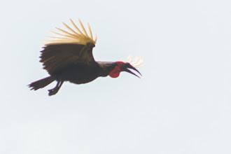 Photo: Ground hornbills are common in Luando; Os Calaus-terrestres são comuns no Luando.