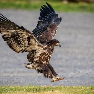 13 eaglet - parker (624A2634) june 25, 2018.jpg