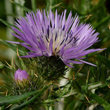 Photo: Silibum marianum