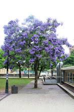 Photo: Xaracandá ou Falso Palisandro Jaracaranda mimosifolia Orixe: Brasil, Arxentina, Bolivia e Perú http://herbasdoghafos.blogspot.com.es/search/label/Xacarand%C3%A1