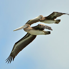 Pelicans look like pterodactyls by Wayne Louie - Animals Birds ( pterodactyl seacliff state beach california nikon d7000 pelicans )