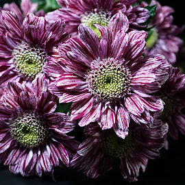 A Thrust of Pink and White Chrysanthemums by Gillian James - Flowers Flower Gardens