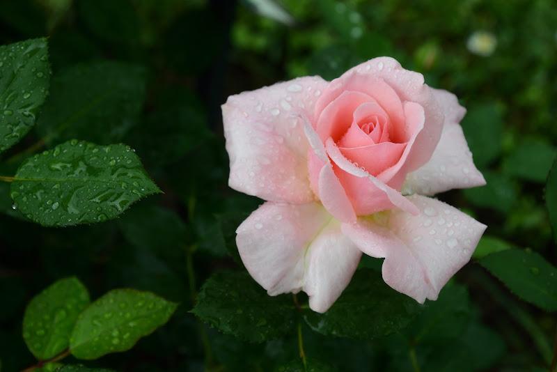 Rosa pink di GVatterioni