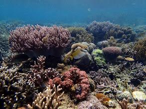 Photo: Siganus dollatus (Scribbled Rabbitfish), Sand Island, Palawan, Philippines.