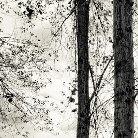 Networks. by Greg Rowe - Nature Up Close Trees & Bushes ( white, trees, leaves, black, branches )