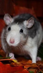 Rat Wallpaper - náhled