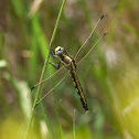 White-tailed skimmer