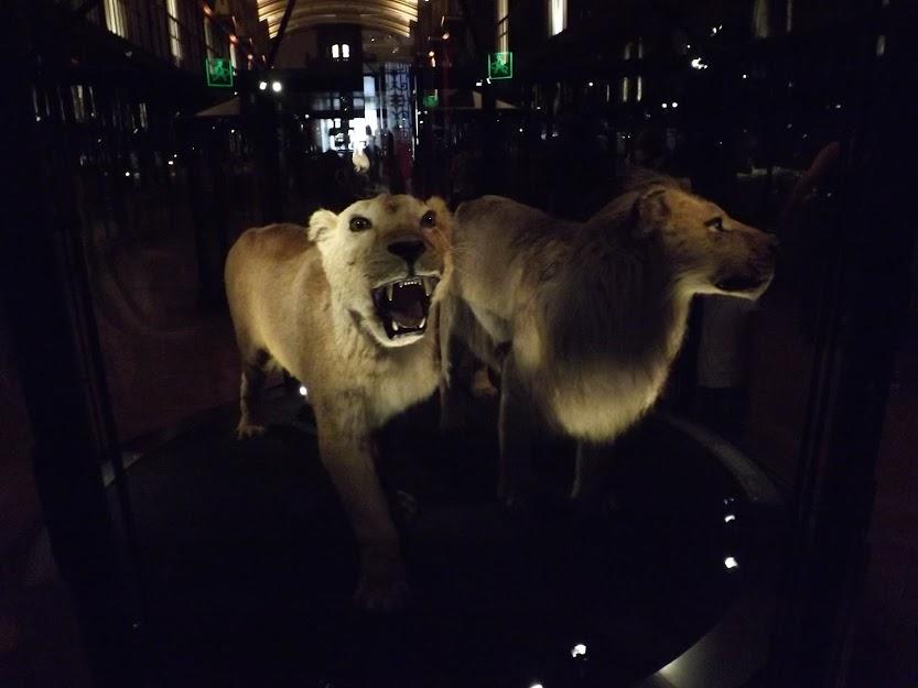 Lion de l'Atlas et lion du Cap naturalisés, MNHN - Tous droits réservés