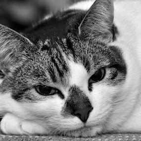 my cat by David Branson - Black & White Animals (  )