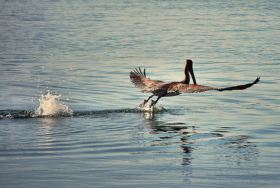 Pelican Takeoff by Terry Davey - Animals Birds ( pelican takeoff )