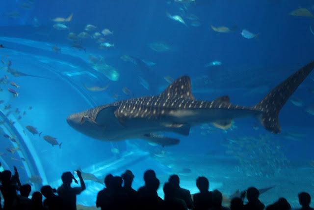 美ら海水族館「黒潮の海」のジンベエザメ