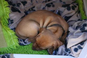 """Photo: Brun missade hela """"fotningen"""". Han låg och sov själv i buren."""