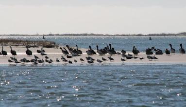 Photo: Flock of birds at Bulkhead Shoal - the western end of Bird Shoal