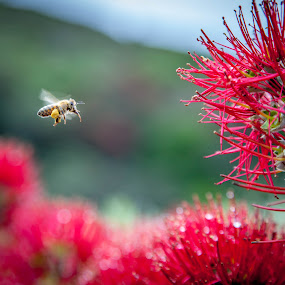 pohutakawa flowering with bee by Sheena True - Nature Up Close Flowers - 2011-2013 ( red, pollen, bright, bee, flower )