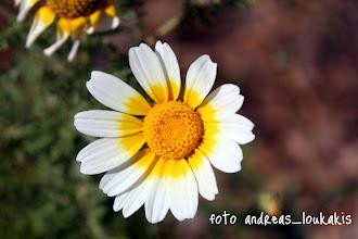 Photo: ΧΡΥΣΑΝΘΕΜΟ ΤΟ ΣΤΕΦΑΝΩΜΑΤΙΚΟ chrysanthemum coronarium ΚΑΤΩ ΧΩΡΙΟ ΙΕΡΑΠΕΤΡΑΣ