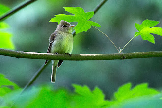 Photo: Pacific-slope Flycatcher - Photo by Dan Kelly: http://www.allaboutbirds.org/guide/Pacific-slope_Flycatcher/id