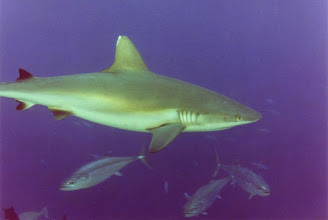 Photo: #013-Requin gris à Shaab Rumi