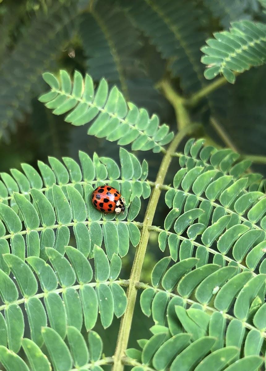 Asian Ladybug Beetle