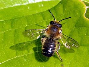 Photo: Megachile Willughbiella  28.04.2014.