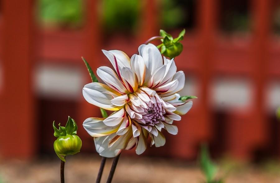 Simple Beauty by Debbie Slocum Lockwood - Flowers Single Flower (  )