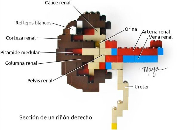 Riñón de Lego