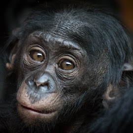 Bonobo by Natasha Jefferies - Animals Other Mammals ( endangered, baby, cute, young, portrait, eyes )